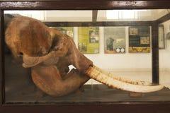 大象头骨 免版税库存照片