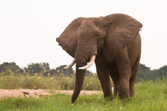 大象 免版税库存照片