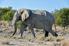 大象- Etosha,纳米比亚 免版税图库摄影