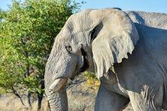大象- Etosha,纳米比亚 免版税库存图片