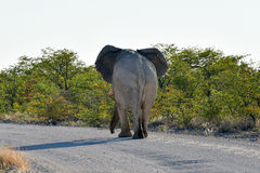 大象- Etosha,纳米比亚 库存图片