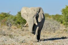 大象- Etosha,纳米比亚 免版税库存照片