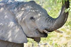 大象- Etosha,纳米比亚 库存照片