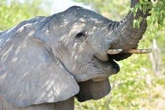 大象- Etosha,纳米比亚 图库摄影