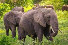 大象fa, ily 免版税图库摄影