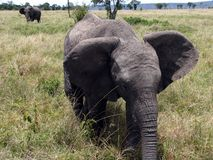 大象mara马塞语 库存照片