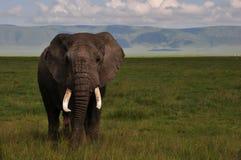 大象Ngorongoro火山口 库存照片