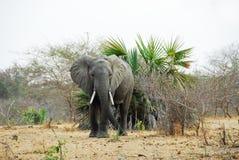 大象selous比赛的预留 库存图片