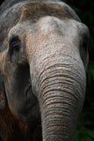 大象sumatran树干 库存图片