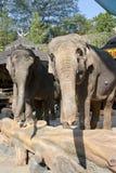 大象taman印度尼西亚的徒步旅行队 免版税图库摄影