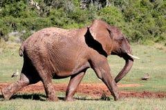 大踏步走的非洲大象  免版税库存照片