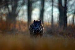 大野公猪, SU scrofa,连续草草甸,红色秋天森林在背景中 从自然的野生生物场面 在g的连续动物 免版税库存照片