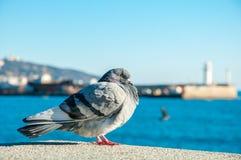 大野生鸽子站立有海视图 库存图片