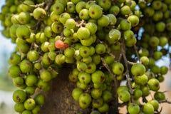 大量在树的新鲜的无花果果子 免版税库存照片