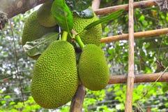大量在树的波罗蜜在一个庭院农场在越南 图库摄影