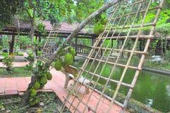 大量在树的波罗蜜在一个庭院农场在越南 免版税库存图片