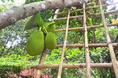 大量在树的波罗蜜在一个庭院农场在越南 免版税图库摄影
