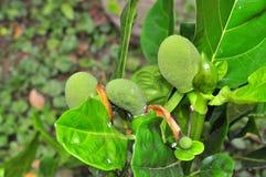 大量在树的波罗蜜在一个庭院农场在越南 库存照片