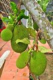 大量在树的波罗蜜在一个庭院农场在越南 免版税库存照片