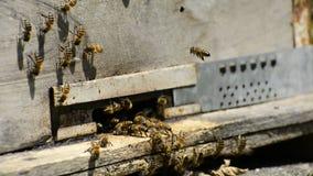 大量在老蜂箱入口的蜂在蜂房的 影视素材