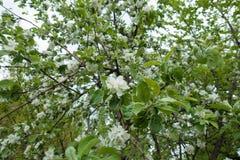 大量在苹果leafage的白花在春天 图库摄影