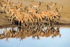 大量在Chudop waterhole的黑面的飞羚羚羊在Etosha Nationla公园 库存图片