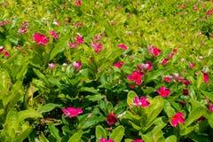 大量桃红色长春花属roseus在花圃里开花 免版税库存照片