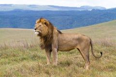 大量狮子的男 免版税库存照片