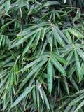大量竹叶子 免版税库存照片