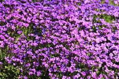 大量紫罗兰 免版税库存图片