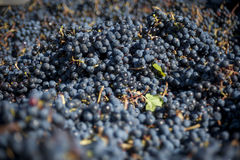 大量红葡萄酒葡萄 库存照片