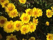 大量美丽的明亮的黄色花 免版税图库摄影