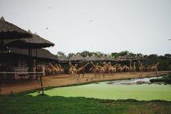 大量长颈鹿在动物园里 免版税库存照片