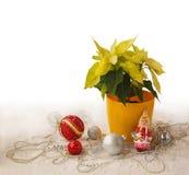 大量黄色一品红和圣诞节装饰产品  库存照片