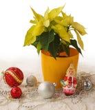 大量黄色一品红和圣诞节装饰产品  库存图片