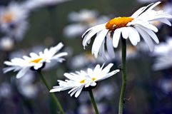 大量daisys 库存照片