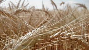 大金黄麦子耳朵在一个大领域成熟了 股票视频