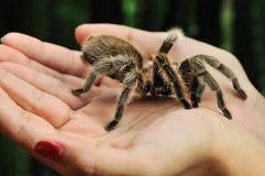 大长毛的塔兰图拉毒蛛 免版税库存照片