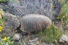 大长毛的犰狳Chaetophractus villosus 库存照片