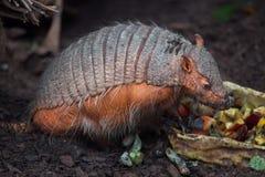 大长毛的犰狳Chaetophractus villosus 库存图片