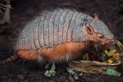 大长毛的犰狳Chaetophractus villosus 免版税库存照片