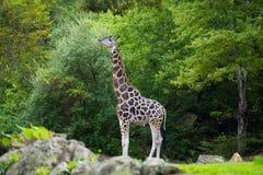 大长颈鹿在它的自然生态环境 免版税库存照片