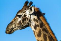 大长颈鹿头  serengeti坦桑尼亚 图库摄影