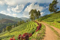 大阳台有薄雾云彩天空的茶园在土井美斯乐山, Chiangrai,泰国 免版税图库摄影