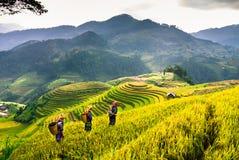 大阳台米在越南的西北部的山调遣 库存照片