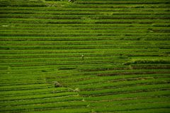 大阳台米领域在越南 库存照片