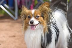 大陆玩具西班牙猎狗Papillon 免版税库存照片