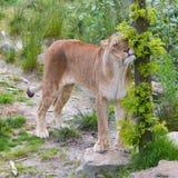 大雌狮在绿色环境里 免版税库存照片