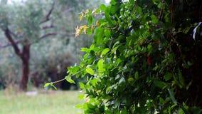 大雨在公园 从绿色叶子的WATERDROPS小瀑布 影视素材