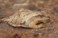 大雨蛙Pseudacris十字花科植物 库存图片